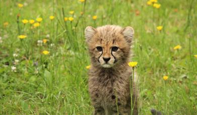 Cheetah Cub at Colchester Zoo