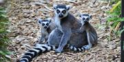 Ring-tailed lemurs at Colchester Zoo (2020)